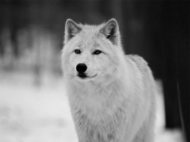 На равных играют с волками…