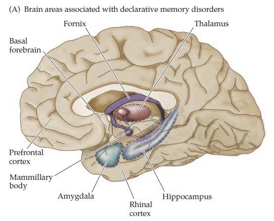 Части мозга, связанные с памятью